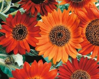 Sunflower-Earthwalker-  100 seeds