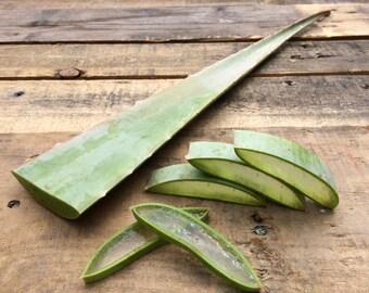 Fresh Organic Aloe Vera Leaf