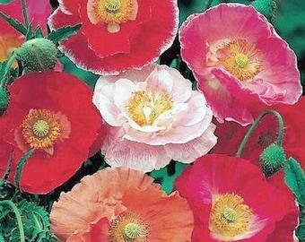 Poppy Shirley Mix Flower Seeds (Papaver Rhoeas) 200+Seeds