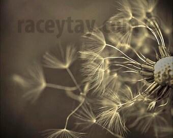 Dandelion Wall Art, Flower Photography, Gray, Black, Rustic Art Print 8x8  12x12
