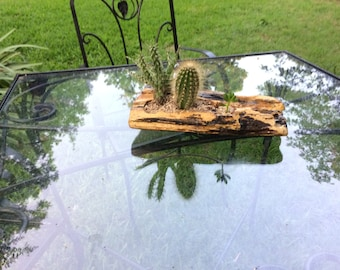 Cacti in driftwood