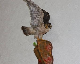 Northern Goshawk - Taxidermy Bird Mount, Stuffed Bird For Sale - Hawk, Falcon - ST3650
