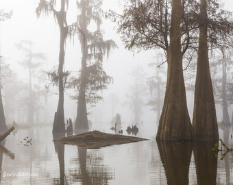 Louisiana cypress Swamp on a Foggy Morning Three
