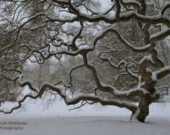 Winter Tree Photograph, Japanese Maple Tree, Tree with Snow, Tree of Life, Fine Art Photograph, Old Tree, Fresh Snow, Zen Art, Monochrome