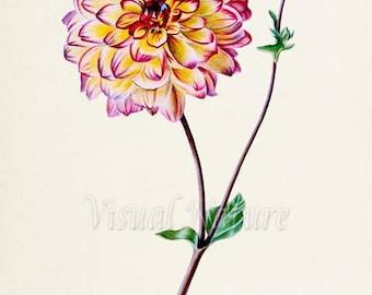 Multicolored Garden Dahlia Flower Art Print, Botanical Art Print, Flower Wall Art, Flower Print, Home Decor, yellow, white, pink