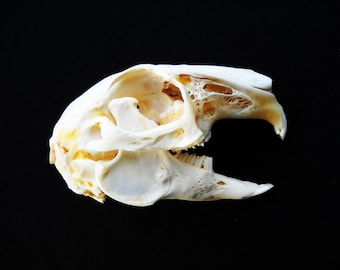 Real Domestic Rabbit Skull Taxidermy Skeleton Bones