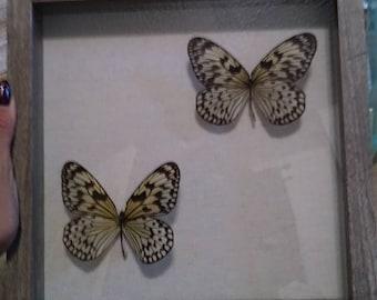 Dual Vedana Butterflies