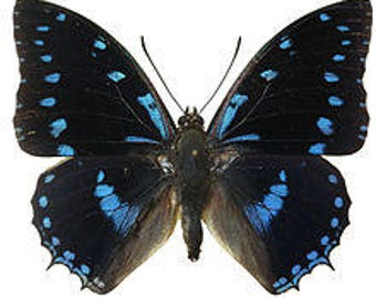 Real Charaxes ameliae Butterfly, spread for your project or laminated or unmounted