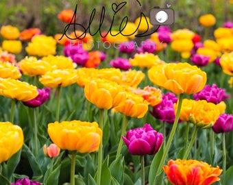 Bright and Cheery Tulips