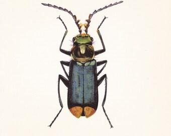 vintage beetle insect art print Malachius bipunctatus home decor 8x10 inches