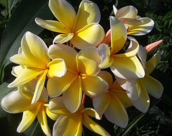 Plumeria - yellow and cream - live cutting - tropical plants