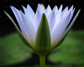 Emissary of Light - Water Lily in Field of Stars