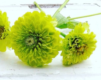 Benary's Giant Lime Zinnia, Green Zinnia Seeds, Heirloom Zinnias- Great for Cut Flower Gardens and Butterfly Gardening