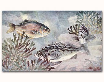 "Striped Perch Art, Blue Perch Print, Vintage Fishing Wall Art, 1930s Ocean House Artwork -- ""Black Rockfish"" No. 229"