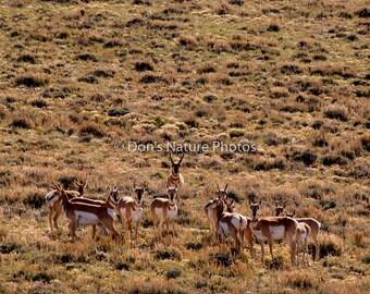 Antelope, near Walden, Colorado. 8X10  #2257