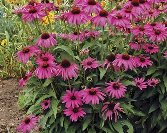 Purple Coneflower Plant. Echinacea purpurea. Chemical free.