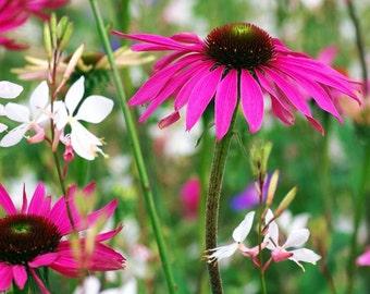 Flower Seeds - PURPLE RAIN - Purple Coneflower - Echinacea