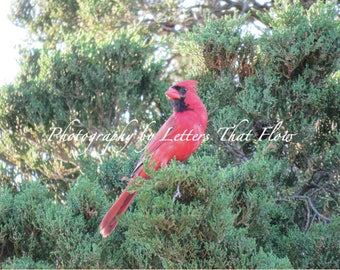 Digital Download | Nature Photography | The Lucky Cardinal