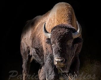 American Buffalo or Bison (AB101)
