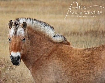 Norwegian fjord horse, brown horse print, grazing horse, Horse Art Print, brown horse print, Horse Photography, beige horse, fjord horse art