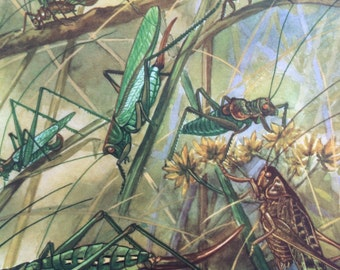 1968 Colourful Vintage Insect Print - Grasshopper - Cricket - matted and ready to frame - 14 x 11 inches