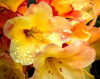 Rain Drops Rhododendron