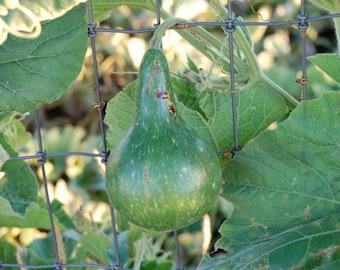"8"" Kettle Gourd Seeds"