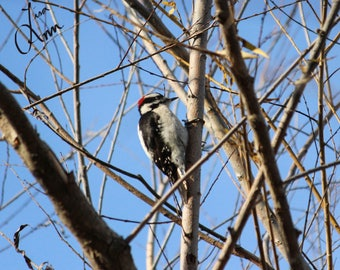 Fine art print photo Downy Woodpecker