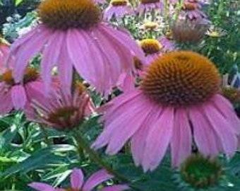 Purple Coneflower Plant