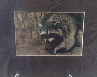 Animal Photography - Raccoon Print - Nature Photography - Wildlife Photo - Animal Wall Art - Raccoon Photos - Nature Photography
