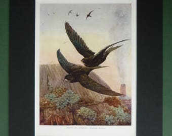 1930s Antique Winifred Austen Ornithology Picture of Swifts Flying Above a Thatched Cottage Roof