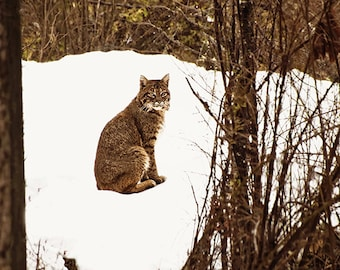 Animal Photography, Bobcat, Gift for Men, Forest Animals, Animal Print, Wild and Free, Woodland Animals, Rustic Wall Art,Rustic Decor,Canada