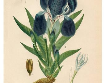 Botanical Print, Purple Iris, Giclee Print, Botanical Illustration, Floral Print, Vintage Botanical Art Print, Flower Wall Art, Flower Print