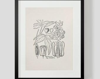 Vintage Botanical Illustration Print 3