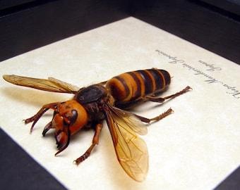 Real Framed Giant Female Japanese Worlds Largest Hornet Vespa Mandarina 7990