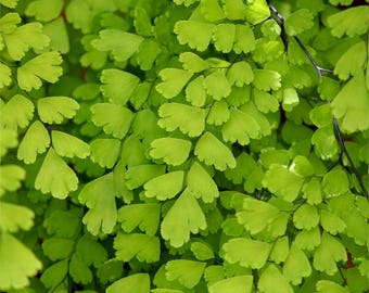 "Southern maidenhair Fern - 1 Plants  - 1 Feet Long  - Ship in 3"" Pot"