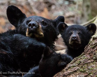 Black Bear Mother and Cubs. #1634