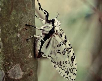 Géant Leopard Moth - téléchargement de l'Image numérique - photographie de la Nature - licence numérique inclus