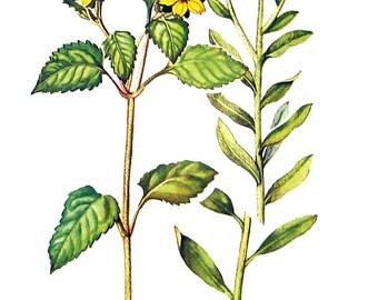 Chrysogonum, Baker's Golden Aster Flowers - Botanical Print - 1954 Vintage Book Page - 11 x 8
