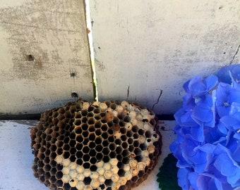 Wasp Nest, Medium Wasp Nests,Natural Nest,Nests, Real Wasp Nest