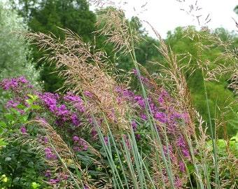 Sorghastrum nutans (Indian Grass) [50 Seeds]