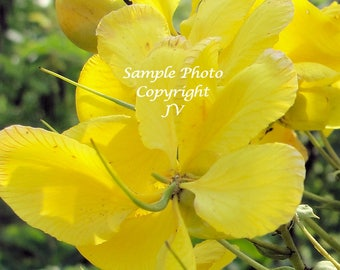 Avaram Senna 8 seeds Bright Yellow Flowers Attracts Butterflies Easy to grow Cassia auriculata