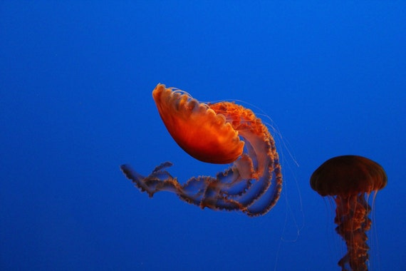 Dance of the Jelly--photo matted and framed, jellyfish