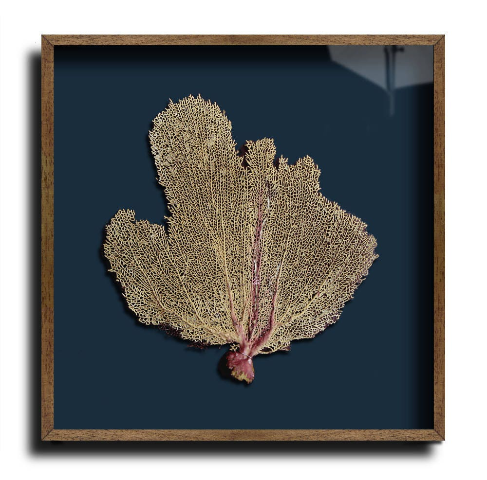 Framed Sea Fan 50 x 50cm