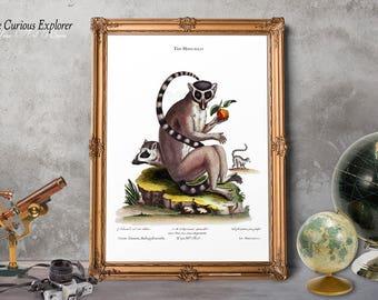 Lemur Decor, Cute Animal Posters, Old Biology Posters, Long Tail Lemur , Lemur Nursery Decor, Lemur Print, Antique Lemur Poster - E17m2
