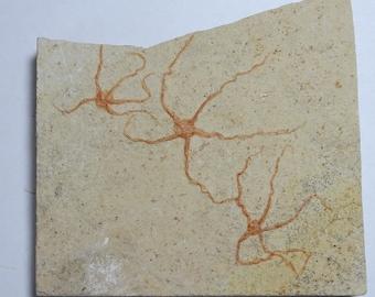 Fossil Brittle Starfish; Geocoma libanotica; Lebanon; Three Brittle Stars