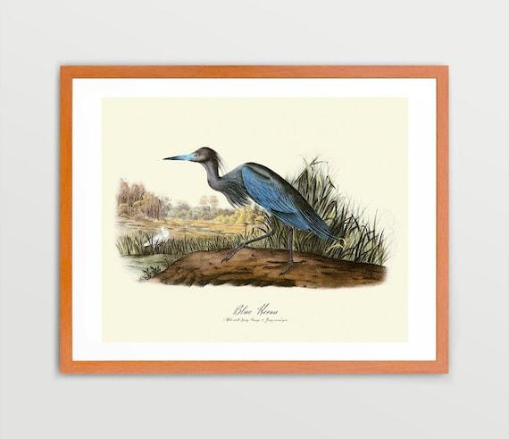 Blue Heron - Ornithological Art Print - Heron Print -  Audubon Art - John James Audubon Art Print