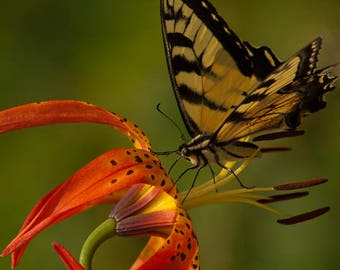 Butterfly On a Lily Photo Print