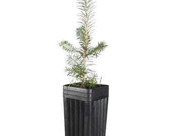 TreesAgain Potted Fraser Fir Tree - Abies fraseri - 10 to 14+ inches (See State Restrictions)