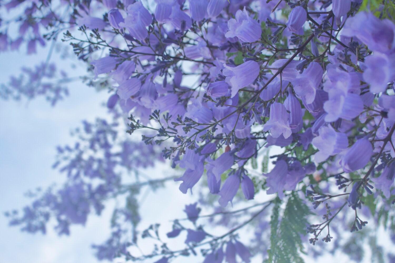 Jacaranda tree purple flowers spring san diego california zoom mightylinksfo